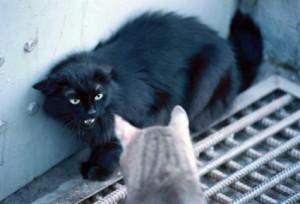 pisici agresive